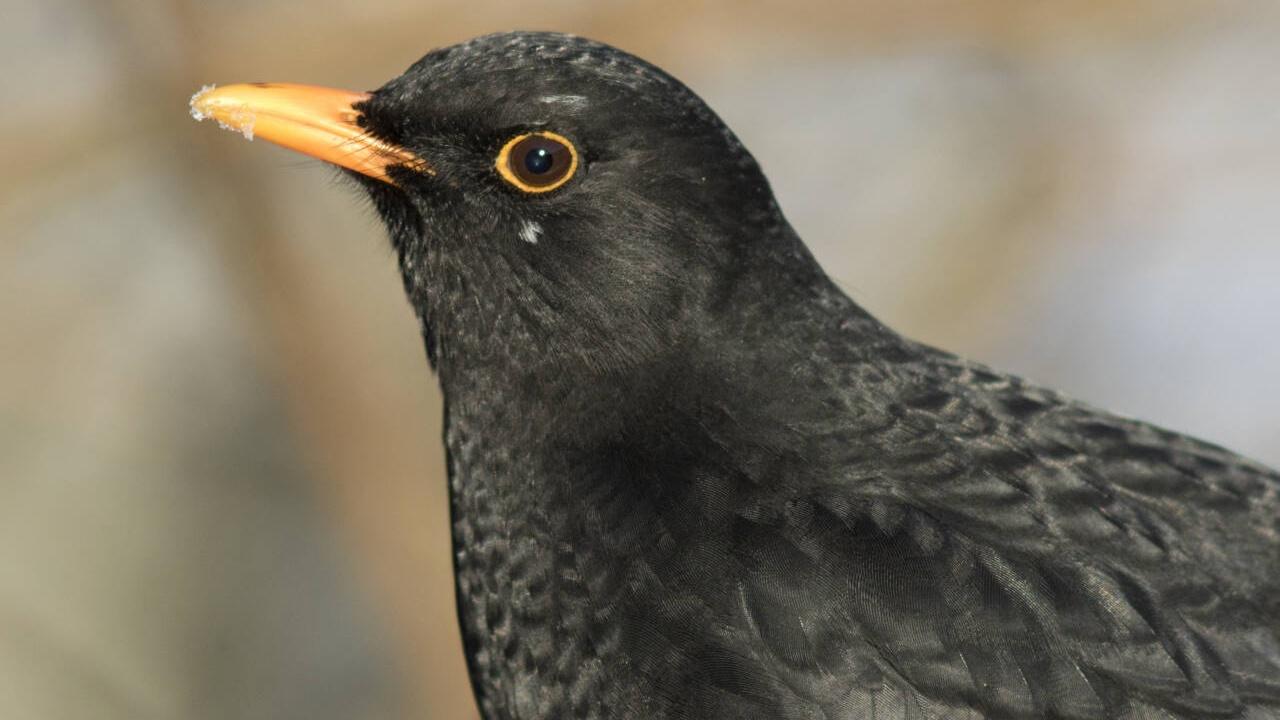 Svarttrost overvintrer i økende grad i Norge, spesielt på Vestlandet. Det plutselig væromslaget til kaldt vær med stort snøfall de siste ukene har gjort det vanskelig, og vi er spent på hvordan det vil slå ut på resultatene i Hagefugltellingen. Foto: Frode Falkenberg/ Norsk Ornitologisk Forening.